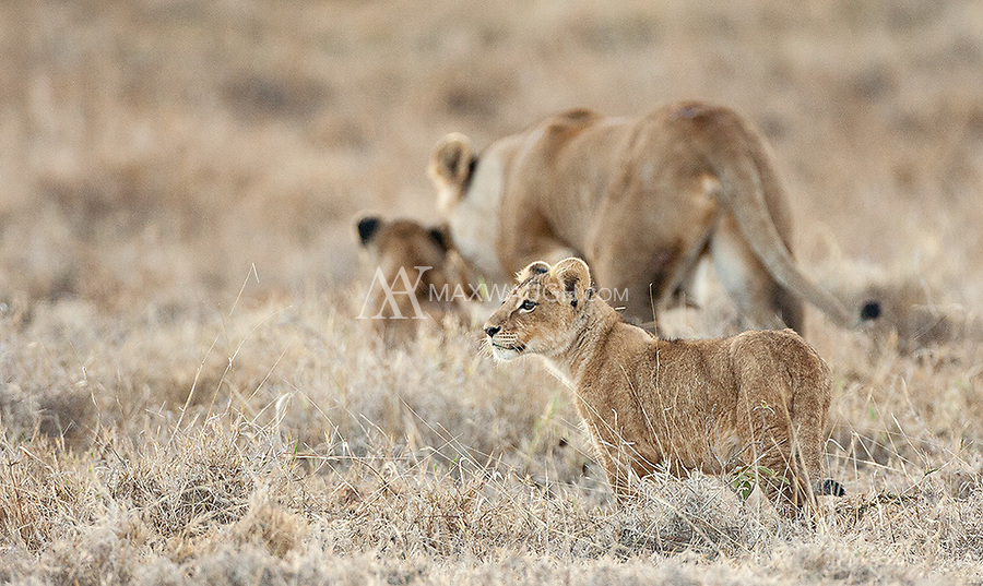 We encountered a lioness and two cubs a few times in the Ngorongoro Crater. They provided some nice photo ops.