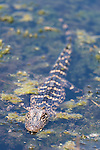 Brazoria County, Damon, Texas; a juvenile American Alligator (Alligator mississippiensis), roughly 2 feet long and 2 years old, floating at the surface of the slough