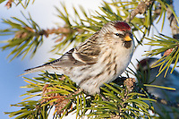 Female Common Redpoll perched on the branch of a pine tree