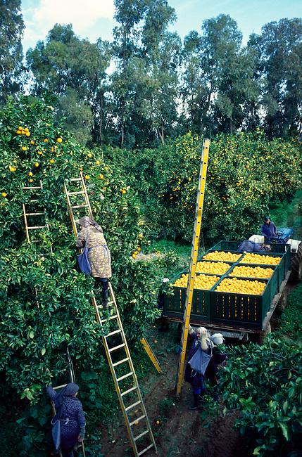 Orangenernte, Orange-harvest near Episkopi, Cyprus. Zypern.