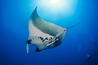 giant oceanic manta ray, Manta birostris, with common remora, Remora remora, Little Brother, Brother Islands, or El Ikhwa Islands, Egypt, Red Sea, Indian Ocean
