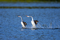 """Western Grebe (left) and Clark's Grebe (Aechmophorus clarkii)  """"rushing"""" or courtship dance.  Western U.S., May.  Note: not totally uncommon for Western and Clarks Grebes to dance together but rarer for them to form a mating pair."""