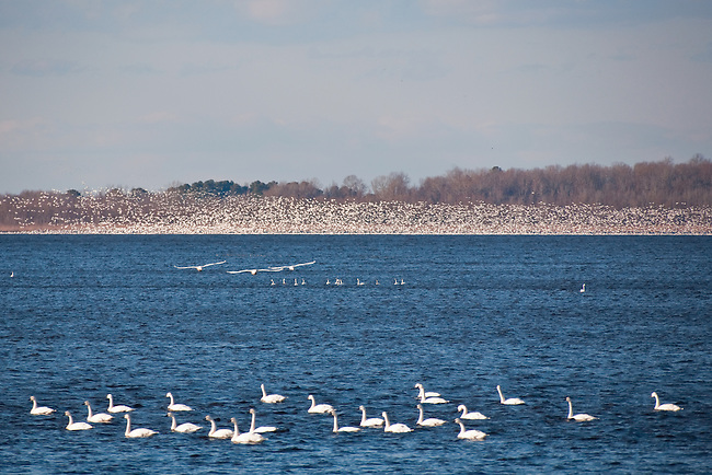 Tundra swans and snow geese on Pungo Lake