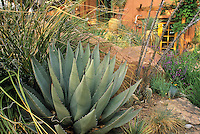 Agave neomexicana (hardy succulent) bold foliage in drought tolerant border in Dan Johnson Colorado garden