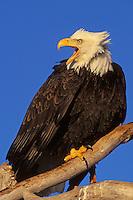 Bald Eagle (Haliaeetus leucocephalus) calling.