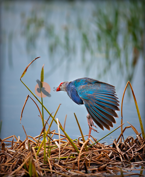 Purple swamp hen standing on one leg with one wing down in wetlands of Florida