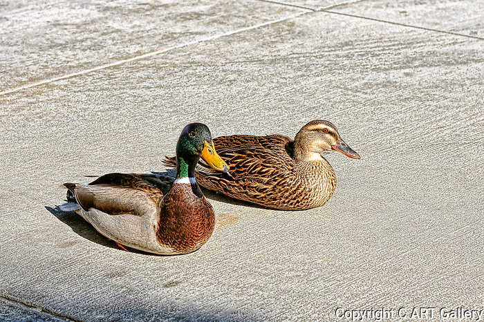 Mallard Ducks soaking up the rays in HDR, Balboa Island, CA