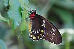 Cairns Birdwing - Ornithoptera priamus