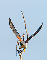 Adult white-tailed hawk flying from tree