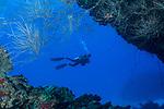 Diver, Black coral, framed, Cuba Underwater, Jardines de la Reina, Protected Marine park underwater,