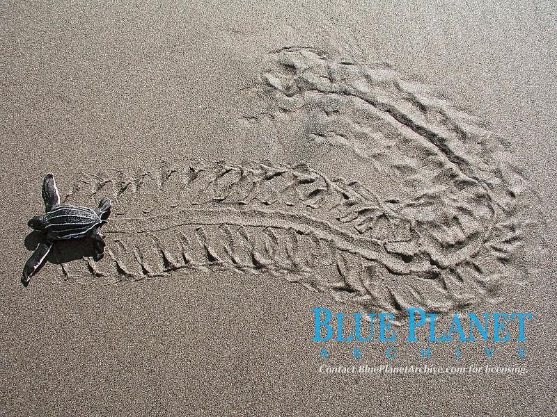 leatherback sea turtle hatchling, Dermochelys coriacea, running to the sea, Dominica, Caribbean, Atlantic Ocean