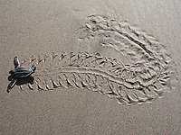 leatherback sea turtle hatchling, Dermochelys coriacea, running to the sea, Dominica, Caribbean, Atlantic Ocean