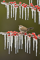 Bewick's Wren (Thryomanes bewickii), adult perched on icy branch of Possum Haw Holly (Ilex decidua) with berries, Hill Country, Texas, USA