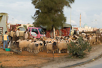 Tripoli, Libya - Sheep vendors, Eid al-Adha, Id al-Adha.  As the eid approaches, farmers set up sheep pens in town to sell sheep for the annual feast when Muslims commemorate God's mercy in allowing Abraham to sacrifice a ram instead of his son, to prove his faith.