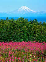 Art in Nature 9607-0172 - Mount Redoubt, across the Cook Inlet of southern Alaska, rises majestically above a foreground of green foliage and bright fireweed. Northern Rocky Mountains, Ninilchik, Alaska.