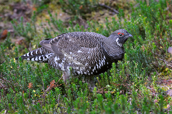 Male Spruce Grouse also known as the Franklin's Grouse (Dendragapus canadensis franklinii).  Northern Rockies, fall.