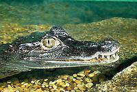 1R16-004b  Spectacled Caiman - Caiman crocodilus