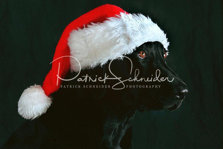 A black Labrador retriever dog wears a Santa hat in anticipation of Christmas.