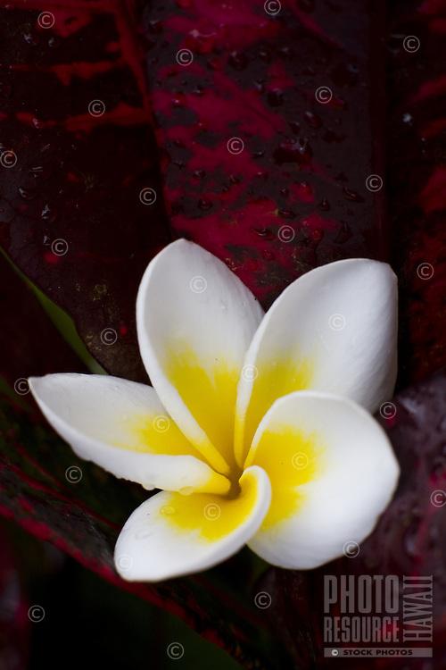 Tropical Hawaiian plumeria