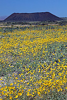 Hairy desert sunflower, also sometimes called desert gold (Geraea canescens) Amboy Crater, Mojave Desert, California