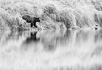 A black bear looks for salmon carcasses along the water's edge.