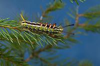 Tannen-Streckfuß, Raupe frisst an Fichte, Tannen-Streckfuss, Tannenstreckfuß, Tannenstreckfuss, Tannenspinner, Fichten-Streckfuß, Fichtenstreckfuß, Calliteara abietis, coniferous tussock moth, caterpillar