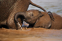 Very young african elephant calf wading in pond behind mother.  Africa.  At this age calves like to stay very close to mom, often following along right behind, keeping contact with the cow's hind leg with their trunk.
