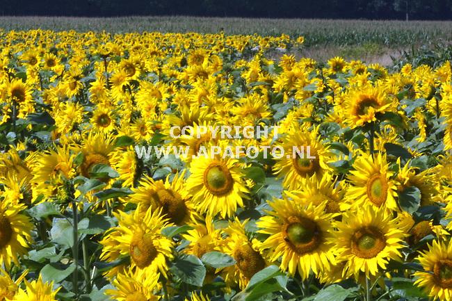 persingen (ooypolder) 250701 zonnebloemen in nederland bljift een zeldzaam gewas. In frankrijk waar ze voor de produktie van zonnebloemolie worden verbouwd, worden ze tournesols genoemd, omdatze dagelijks  meedraaien met   de zon. <br /> foto frans ypma APA-foto