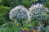 Salix integra 'Hakuro Nishiki', variegated Dappled Japanese Willow, pruning into balls, O'Byrne Garden