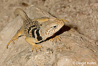 0612-1020  Great Basin Collared Lizard (Mojave Black-collared Lizard), Crotaphytus bicinctores  © David Kuhn/Dwight Kuhn Photography