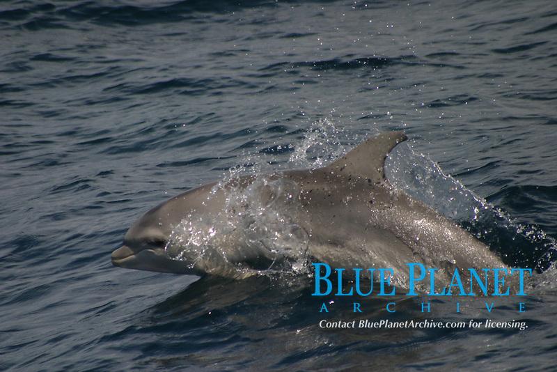 juvenile bottlenose dolphin, Tursiops truncatus, Azores Islands, Portugal, North Atlantic