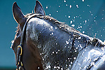 Baltimore, MD- May 17: 137th Preakness contender Bodemeister receives a morning wash during morning work outs at Pimlico Race Course in Baltimore, MD on 05/17/12. (Ryan Lasek/ Eclipse Sportswire)