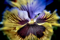 Close up of Pansy flower. Oregon