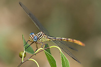 334090010 a wild female russet-tipped clubtail dragonfly stylurus plagiatus perches on a branch at santa ana national wildlife refuge in the rio grande valley hidalgo county texas united states