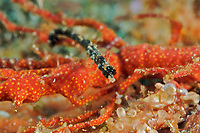 A pipehorse (Acentronura dendritica), holding on to a piece of coral at Elephant Head Rock, Similan Islands, Andaman Sea, Thailand,