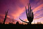 Cardon cactus, Catavina Desert, Baja California, Mexico