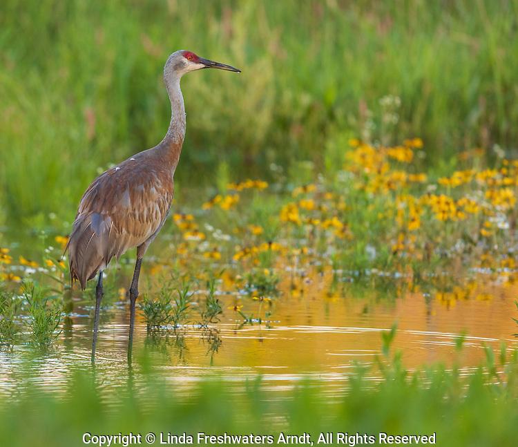 Sandhill crane wading in a wetland in northern Wisconsin.