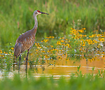Sandhill crane wading in a wetland in northern Wisconsin.