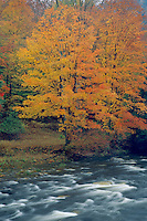 Red maple and Loyalsock Creek<br /> Loyalsock Creek Canyon<br /> Wyoming State Forest<br /> Sullivan County,  Pennsylvania