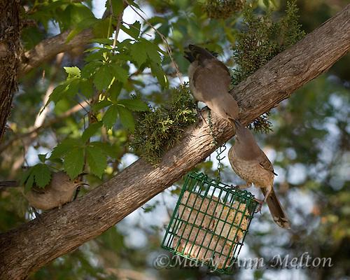 Curve-billed thrasher chicks and mom, Toxostoma curvirostre at suet feeder Toxostoma curvirostre, Lake Tanglewood, Texas