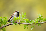 House Sparrow (Passer domesticus) male calling, Berlin, Germany