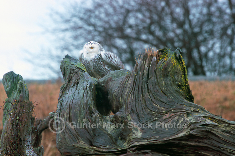 Snowy Owl (Bubo scandiacus) Female or Juvenile, sitting on Driftwood Stump at Boundary Bay Regional Park, Delta, BC, British Columbia, Canada - aka Arctic Owl, Great White Owl or Harfang.