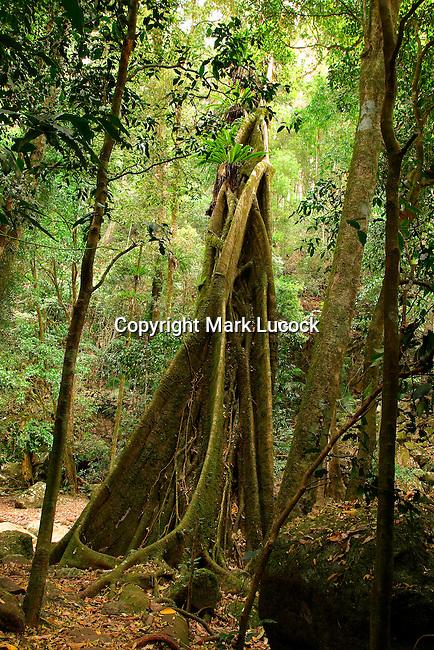 Strangler Fig, Springbrook National Park, Queensland