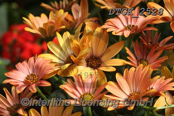 Gisela, FLOWERS, BLUMEN, FLORES, photos+++++,DTGK2528,#f#, EVERYDAY