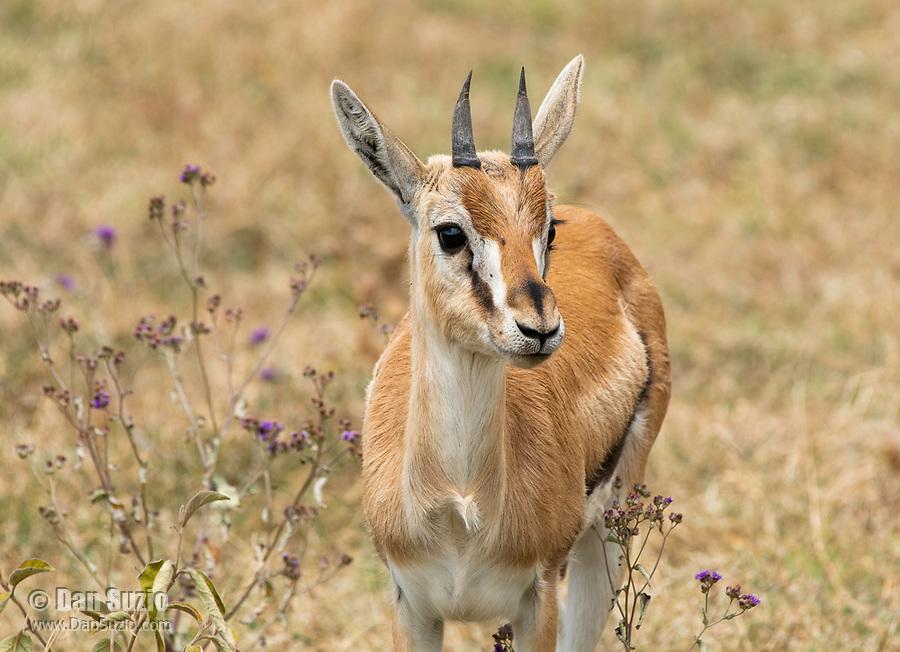 Juvenile Thomson's Gazelle, Eudorcas thomsonii, in Ngorongoro Crater, Ngorongoro Conservation Area, Tanzania