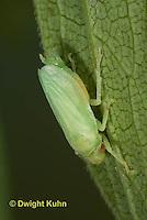SP08-716z  Meadow Spittlebug newly emerged adult, Philaenus spumarius