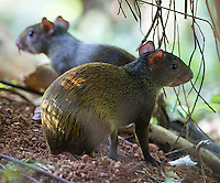 A pair of juvenile agoutis hide in the shadows.