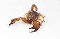 Tri-color scorpion, genus Opistophthalmus, from southern Africa.