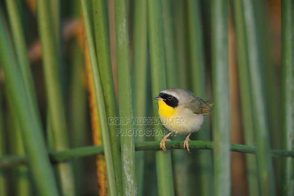 Common Yellowthroat (Geothlypis trichas), adult in reeds, Fennessey Ranch, Refugio, Corpus Christi, Coastal Bend, Texas Coast, USA