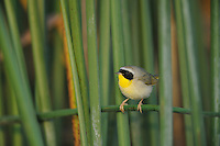 Common Yellowthroat (Geothlypis trichas), adult in reeds, Fennessey Ranch, Refugio, Corpus Christi, Coastal Bend, Texas Coast, USA